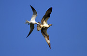 Tern Metal Prints - Mid-Air Attack Metal Print by Mike  Dawson