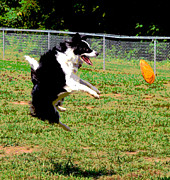 Collie Digital Art Posters - Mid Air Poster by Dorrie Pelzer