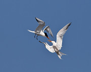 Tern Framed Prints - Mid air tern battle Framed Print by Carl Jackson