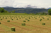 Bales Posters - Mid June Colorado Hay  and the Twin Peaks Longs and Meeker Poster by James Bo Insogna