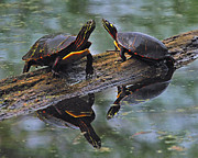 Midland Photos - Midland Painted Turtles by Tony Beck