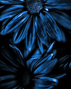 Cool Mixed Media Prints - Midnight Blue Gerberas Print by Bonnie Bruno
