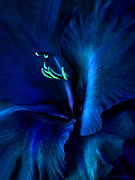 Royal Blue Framed Prints - Midnight Blue Gladiola Flower Framed Print by Jennie Marie Schell