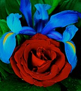Midnight Blue Iris And A Red Rose Print by Leslie Crotty