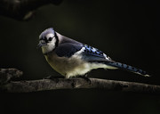 Midnight Light Blue Jay Print by Bill Tiepelman