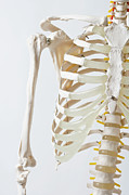 Colored Background Photos - Midsection Of An Anatomical Skeleton Model by Rachel de Joode