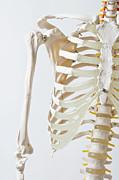 Midsection Of An Anatomical Skeleton Model Print by Rachel de Joode