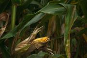Corn Photos - Midwest Harvest by Steve Gadomski