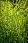 Midwest Prairie Grasses Print by Steve Gadomski