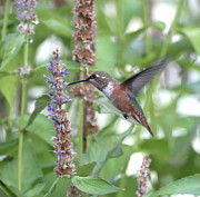 Rufous Hummingbird Posters - Migrating Visitor Poster by Angie Vogel