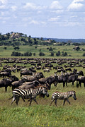 Slide Photographs Prints - Migration - Serengeti Plains Tanzania Print by Craig Lovell