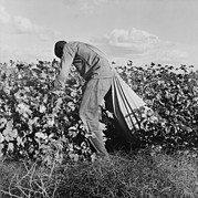 Cotton Picking Posters - Migratory Field Worker Picking Cotton Poster by Everett