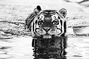 Tiger Photography Prints - Mike Print by Scott Pellegrin