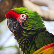 Color  Colorful Prints - Military Macaw Parrot Print by Adam Romanowicz
