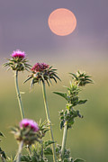 Milk Weed Prints - Milk Thistle at sunset Print by Alon Meir