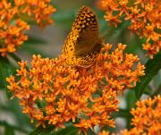 Milkweed Photos - Milkweed and a Frittalary by Douglas Barnett