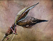Seedpod Prints - Milkweed Seed Pod Print by Dale Kincaid