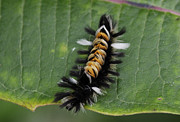 Milkweed Art - Milkweed Tussock Caterpillar by Randy Bodkins