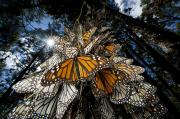 Fir Trees Posters - Millions Of Monarch Butterflies Travel Poster by Joel Sartore