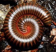 Insects Art - Millipede Spiral by Griffin Harris