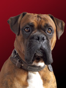 Boxer Dog Photo Framed Prints - Milo Framed Print by Kenton Smith