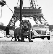 Black And White Paris Metal Prints - Milo mon Chien Metal Print by Hans Mauli