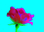 Multi Colored Digital Art - Milti Colored Rose by Marsha Heiken