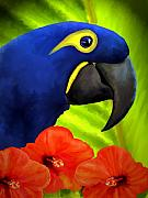 Hyacinth Macaw Framed Prints - MiMi Framed Print by David Wagner