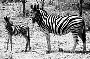 Zebra Photos - Mimic by Andrew Paranavitana