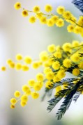Mimosa Flowers Photos - Mimosa (acacia Dealbata) by Maria Mosolova