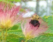 Mimosa Flowers Posters - Mimosa bee Poster by Wide Awake  Arts