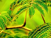 Mimosa Photograph Posters - Mimosa Leaves Poster by Beth Akerman
