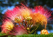 Mimosa Flowers Photos - Mimosa Madness  by Tammy Cantrell