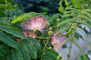 Mimosa Flowers Posters - Mimosa Pink Poster by Larry Bishop