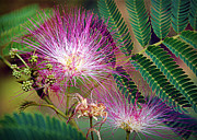 Mimosa Flowers Photos - Mimosas First Blooms by Cricket Hackmann