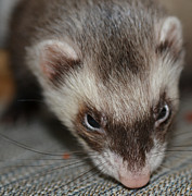 Ferret Framed Prints - Ming Framed Print by Kat Scanlon