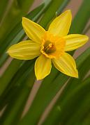 Slender Framed Prints - Mini Daff Framed Print by Andreas Freund