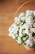 Basket Photos - Mini Daisies by Photos By Cristina