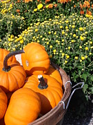 Mini Pumpkins Print by Kimberly Perry