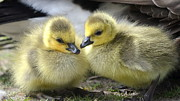 Ducklings Photos - Mini Quackers by Fraida Gutovich