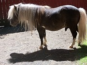 Lorrie Bible - Miniature Horse Male