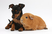 Pinscher Prints - Miniature Pinscher Puppy And Guinea Pig Print by Mark Taylor