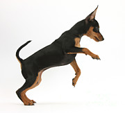 Pinscher Prints - Miniature Pinscher Puppy Jumping Print by Mark Taylor