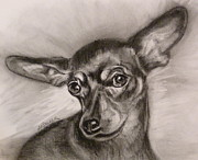 Miniature Drawings - Miniature Pinscher by Susan A Becker