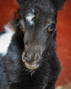 Miniature Pony Portrait Print by Jai Johnson