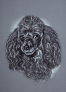 Black Curly Hair Pastels Prints - Miniature Poodle Print by Patricia Ivy