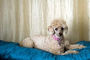 Canis Familiaris Framed Prints - Miniature Poodle Framed Print by Photostock-israel