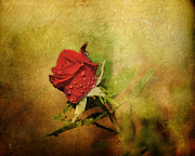 Fitting Room Framed Prints - Miniature Red Rose II Framed Print by Jai Johnson