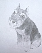 Miniature Drawings - Miniature Schnauzer by Kimberly Smith