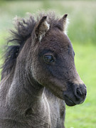 Elaine Hillson - Miniature Shetland Foal